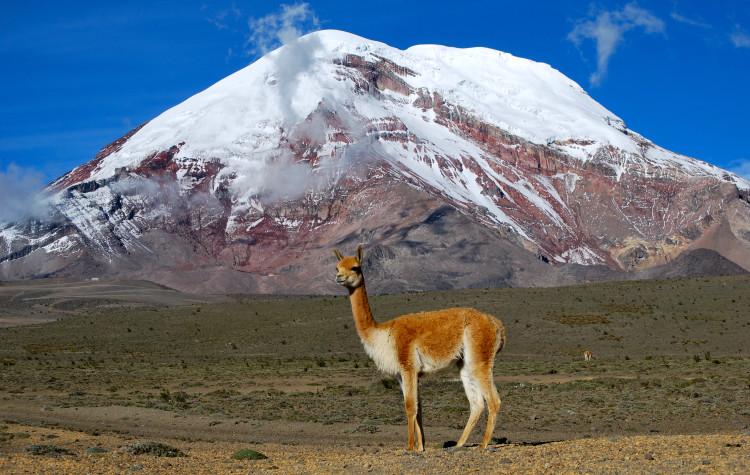 Vicuña_-_Chimborazo,_Ecuador