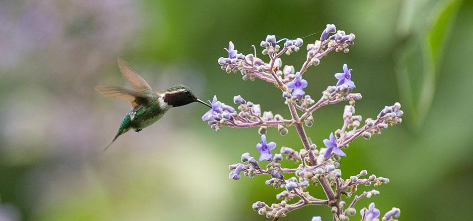 pica-flor-bosque-protector-cerro-blanco